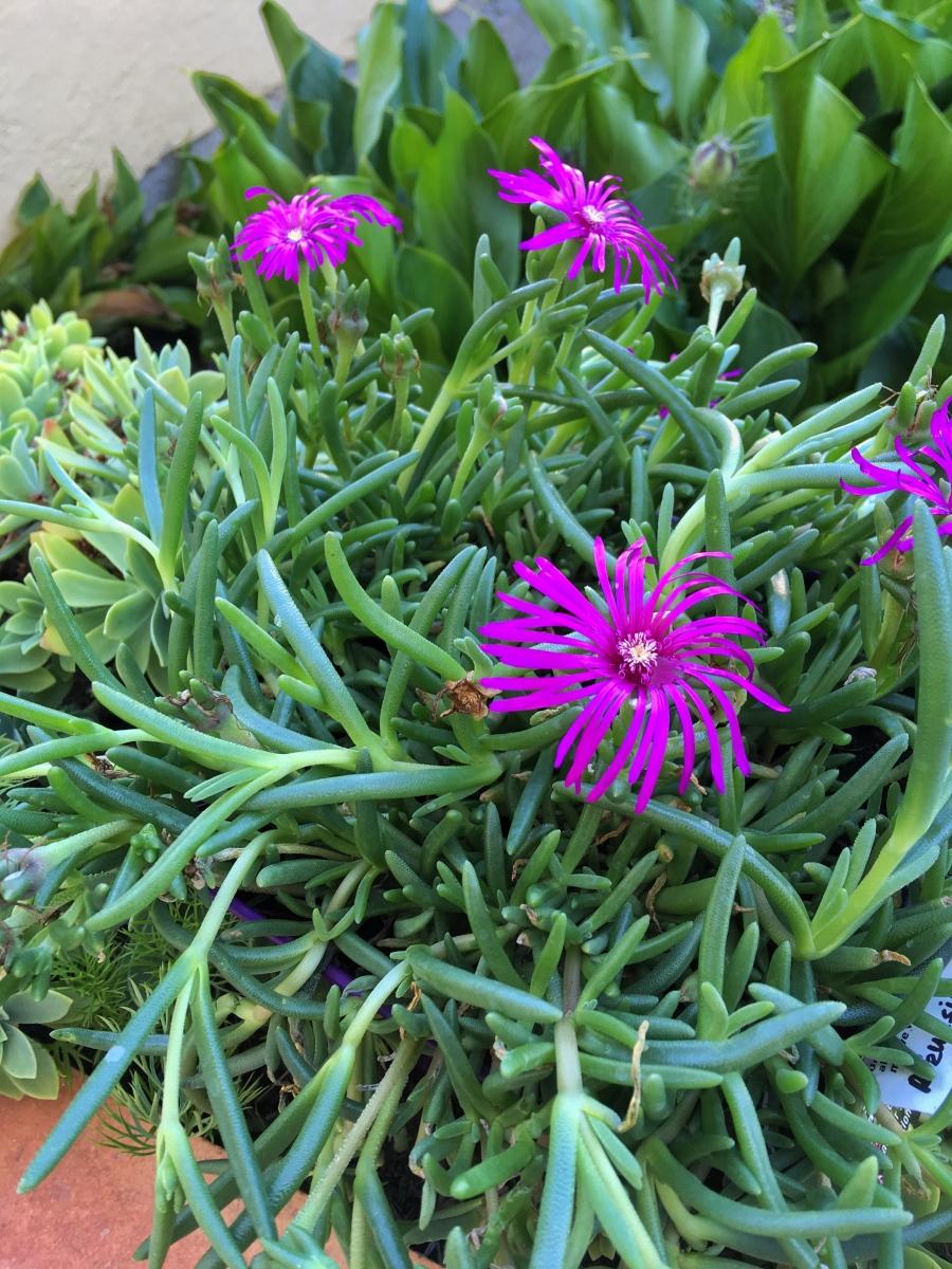 Fleur mellifère - Delønna